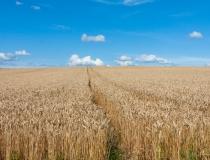 大空に広がる麦畑